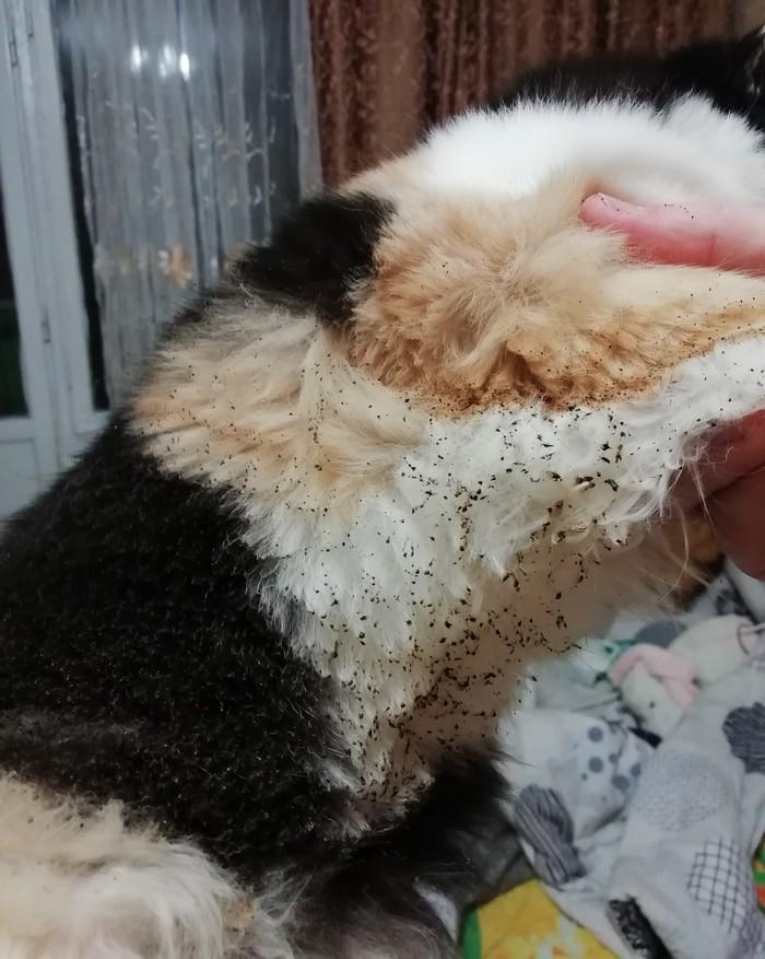 Опаленая кошка... Кошки это весело, это мило Кот, Домашние животные, Котомафия, Длиннопост