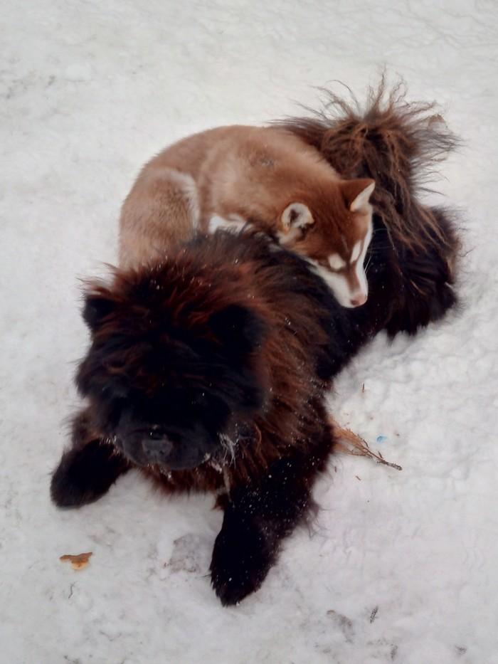 Нянька) Хаски, Чау-Чау, Друзья, Длиннопост, Собака
