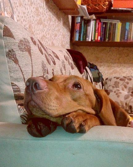 Выжла #11. Собака в авто, фото-история. Венгерская выжла, Фотография, Машина, Авто, Милота, Собака, Длиннопост