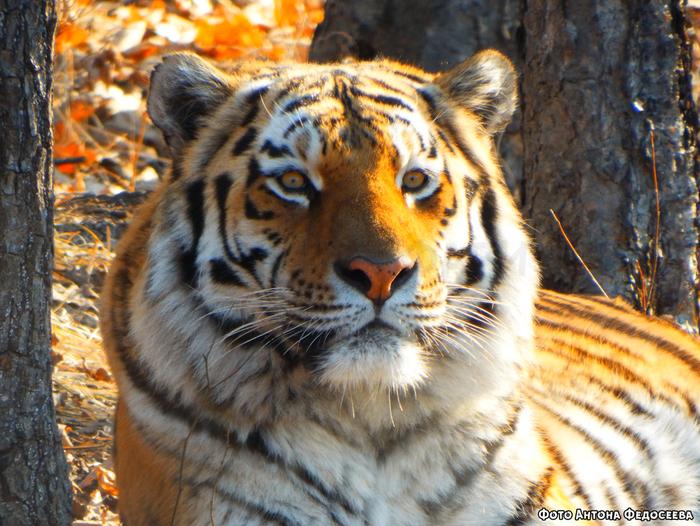 Как отжать самого известного тигра в мире для несуществующего парка Чиновники, Тигр, Тигр Амур и Козел Тимур, Приморский край, Приморский Сафари Парк, Длиннопост