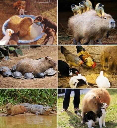 У всех есть такой друг... Друг, Лучший друг, Животные, Капибара, Водосвинка, Милота