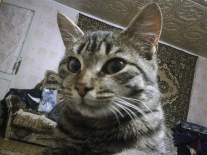 Мое чудо Живность, Европейская короткошерстная, Длиннопост, Кот