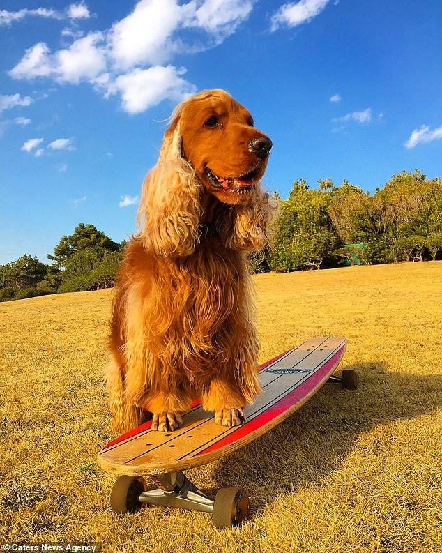 Тем временем в Японии пёс катается на скейте и скутере Кокер-Спаниель, Скейтбординг, Скутер, Япония, Видео, Длиннопост