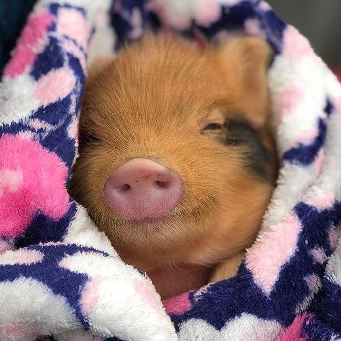 Фото большая мини свинка радостью