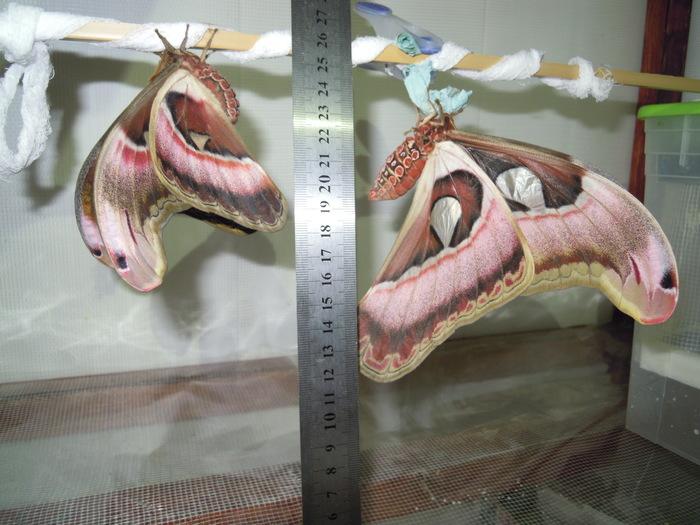 Любовь и бабочки Бабочка, Природа, Животные, Экзотика, Насекомые, Длиннопост
