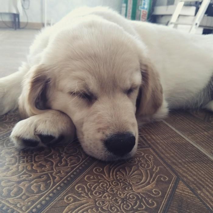 Прибавление в семействе Собака, Семья, Золотистый ретривер, Длиннопост, Домашние животные
