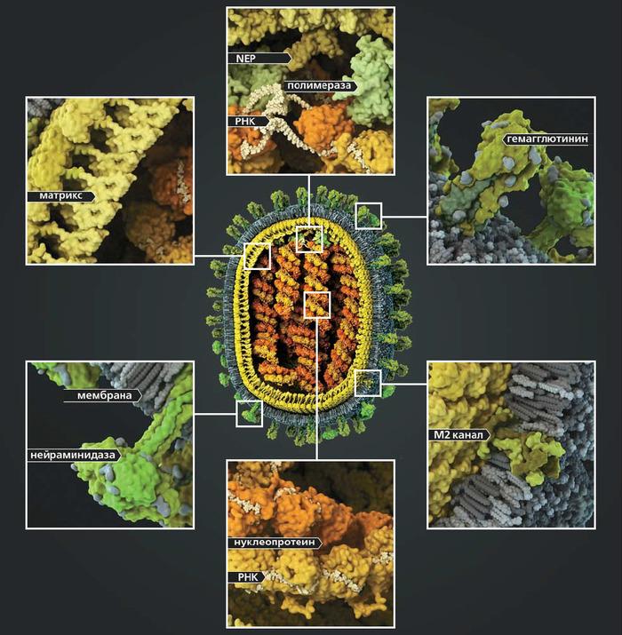Стремительная эволюция гриппа: как одни изменения влекут за собой другие Наука, Вирусология, Вирус, Копипаста, Эволюция, Elementy ru, Длиннопост, Грипп
