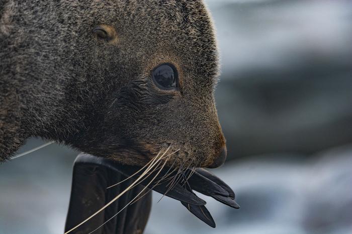 Котик The National Geographic, Фотография, Морской котик, Животные