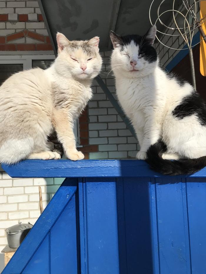 Бойцовские коты греются на весеннем солнышке
