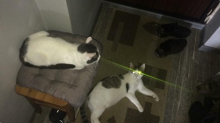 Котолазер Кот, Лазер, Домашние животные