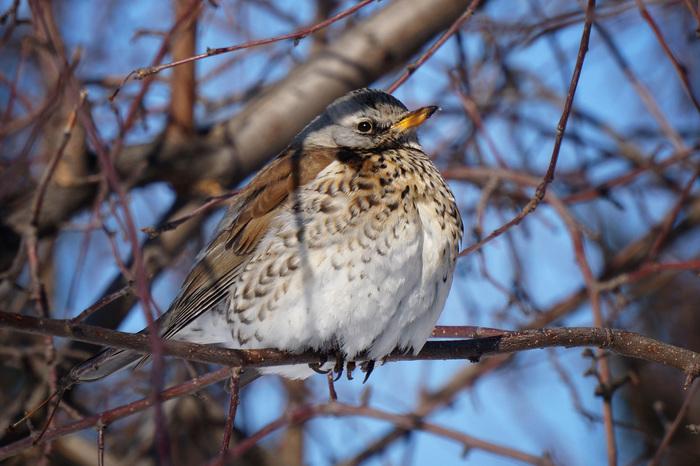 Городские птицы, ч. 2 Птицы, Природа, Сибирь, Город, Фотоохота, Длиннопост