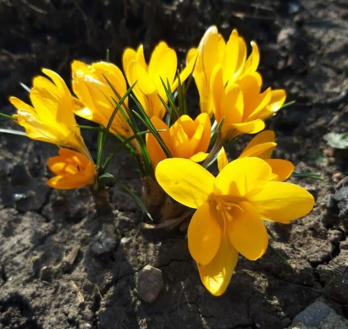 Весна.Крокусы. Краснодарский край.
