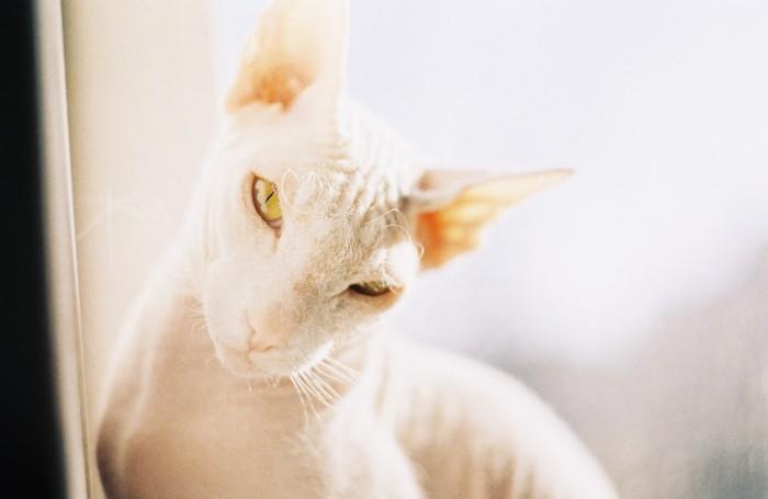 Котиков много не бывает Донской сфинкс, Пленка, Зенит