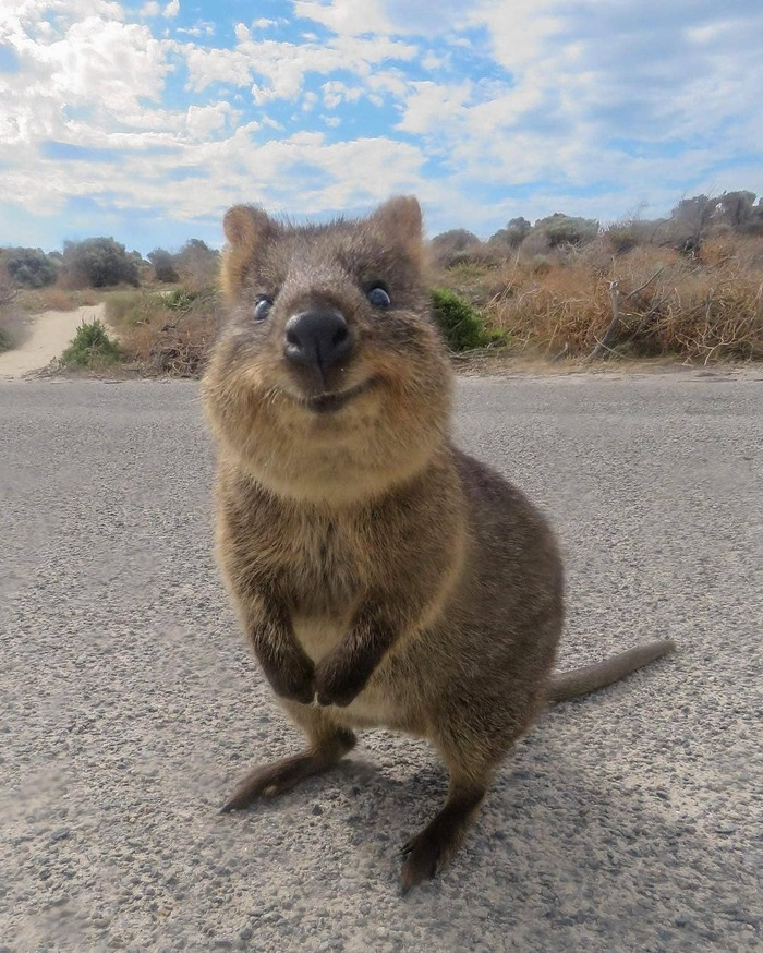 Немного о Квокка или единственный зверёк в Австралии, который не хочет тебя убить. Квокка, Австралия, Красная книга, Длиннопост