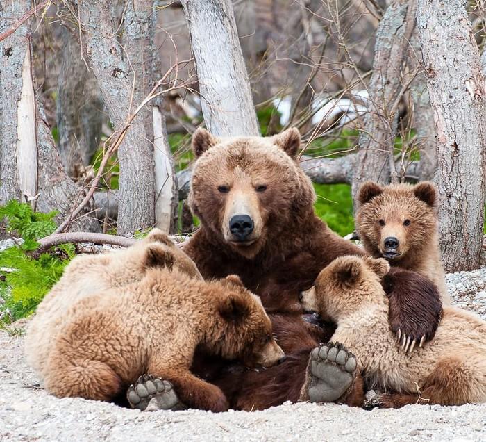 Семейный портрет Фотография, Животные, Медведь, Детеныш, Дикая природа, Камчатка