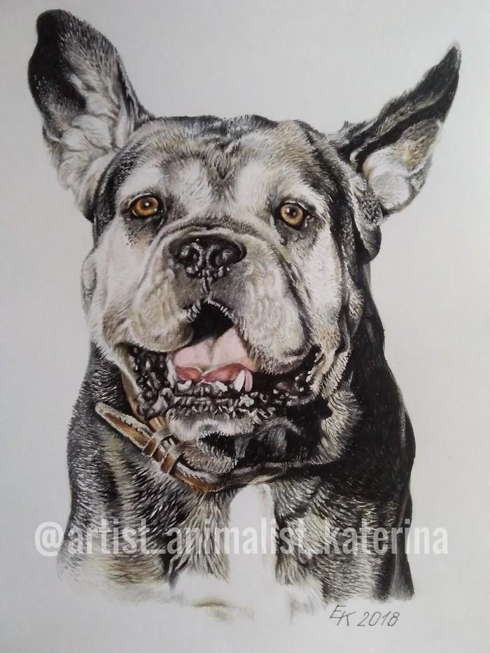 Портреты выполнены цветными карандашами Faber-Castell Polychromos. Рисунок карандашом, Длиннопост, Рисунок, Фотореализм, Анималистика, Животные, Портреты животных, Собака, Кот