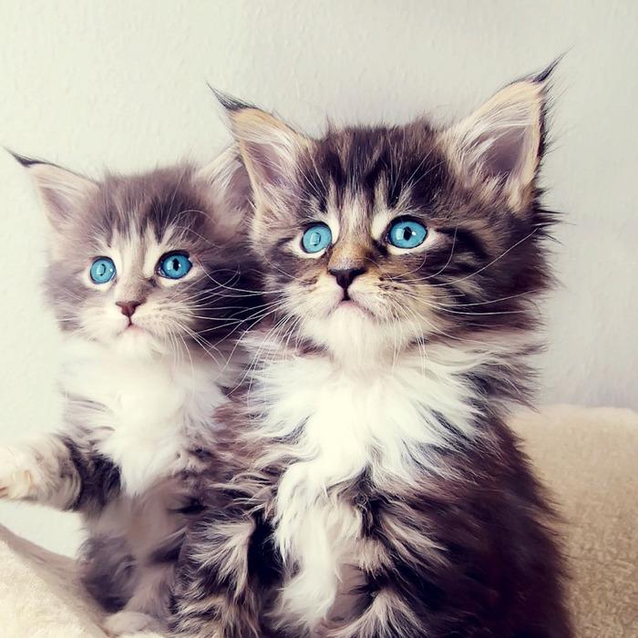Голубоглазые красавцы