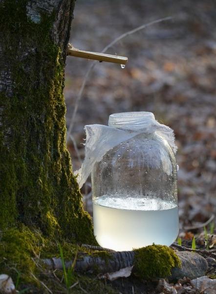 Что такое березовый сок? Березовый сок, Березы, Сайт школа жизни, Длиннопост, Дерево, Сок
