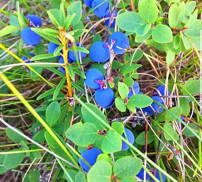 Вахта на Севере: как я ходил за ягодой в тундру? Тундра, Вахта, Работа, Север, Ягоды, Жизнь в деревне, Длиннопост
