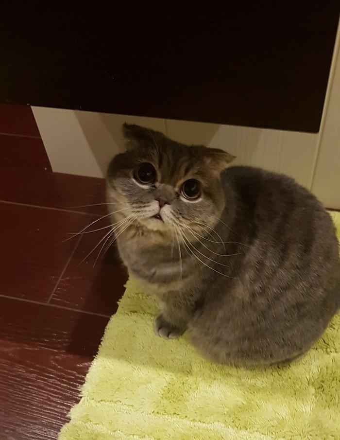 Извините,  а пылесос точно ушел? Кот, Страдания, Глаза, Котомафия, Шотландская вислоухая