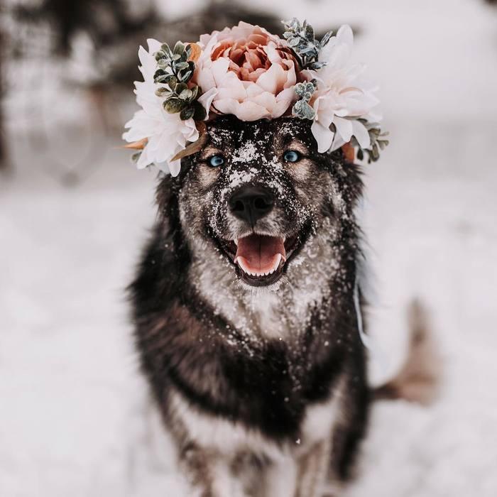 Flower power Хаски, Собака, Милота, Сладкая парочка, Длиннопост, Фотография, Цветы, Домашние животные