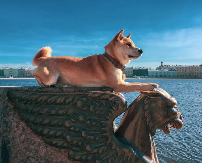 Сфоткай типа в даль смотрю Собака, Сиба-Ину, Милота, Домашние животные