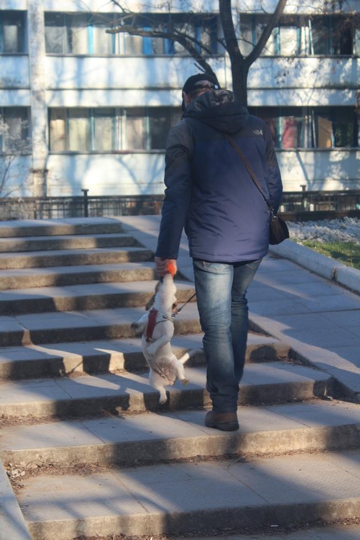 Оригинальный способ выгулять своего человека Собака, Прогулка, Собачники, Все нормально, Животные, Длиннопост, Пост 1 апреля 2019 г, Джек-Рассел-Терьер