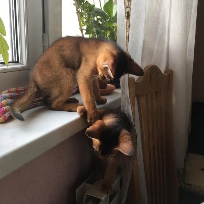 Котомафия не дремлет Хулиганы, Кот, Абиссинская кошка, Котята, Домашние животные