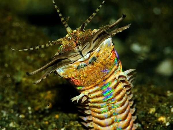 Эунице Афродита: червяк-убийца со сладким именем! Животные, Фауна, Океан, Рыба, Гифка, Длиннопост