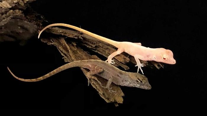 Созданы первые в мире генетически модифицированные рептилии. Crispr, Генетика, Редактирование генома, Биология, Пресмыкающиеся, Наука, Длиннопост