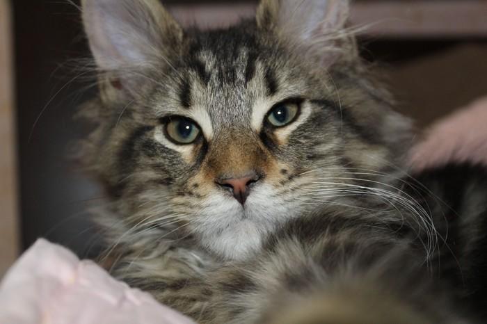 Адмирал) Кот, Мейн-Кун