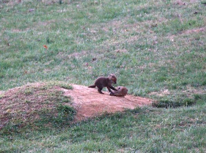 Лисёнок играет с головой оленя