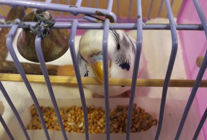 Клетка для волнистого попугая-инвалида Самоделки, Домашние животные, Помощь животным, Своими руками, Попугай, Птицы, Ð�нвалид, Длиннопост
