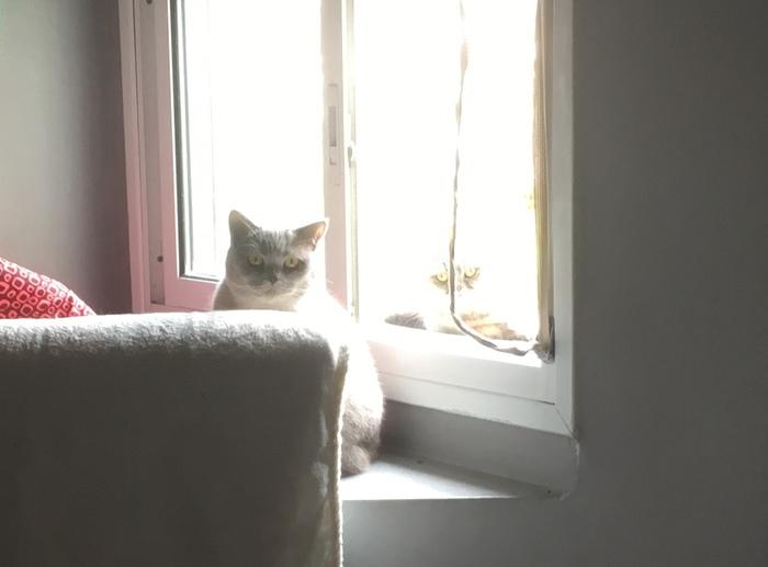 Почему важно дать телефону сфокусироваться перед фото. Кот, Фотография, Британский кот, Шотландская вислоухая, Смешное, Демон, Засвет