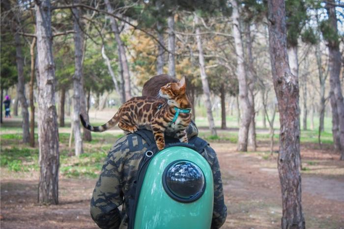 В естественных условиях Кот, Бенгальская кошка, Милота, Котомафия, Прогулка, Рюкзак, Фотография, Одесса