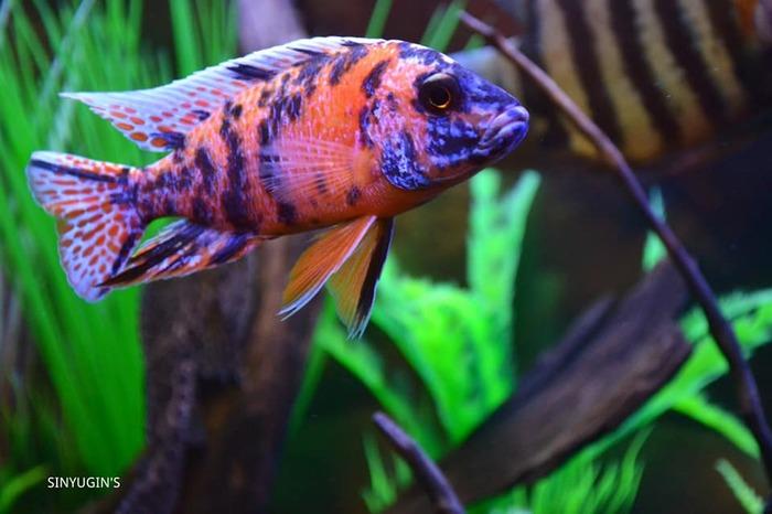 Автор Руслан Синюгин (акваМегаКлуб) Аквариумные рыбки, Аквариум