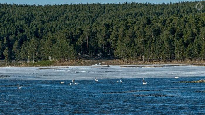 Лебеди на пруду. Арти, Артинский пруд, Лебеди, Ab87, Фото арти, Видео, Длиннопост, Фотография