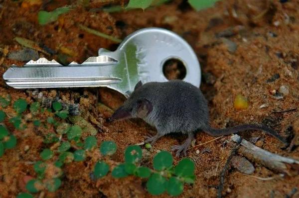 Карликовая многозубка – самое маленькое и прожорливое млекопитающее на планете Анималия, Животные, Фауна, Природа, Млекопитающие, Видео, Длиннопост