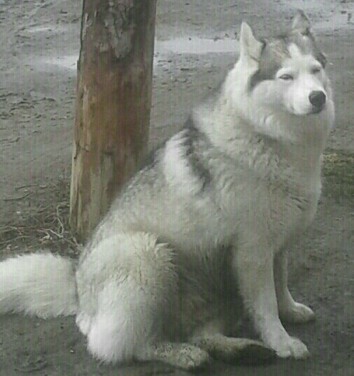 Довольный пес Собака, Фотография, Мобильная фотография, Лужа, Домашние животные, Выгул, Хаски