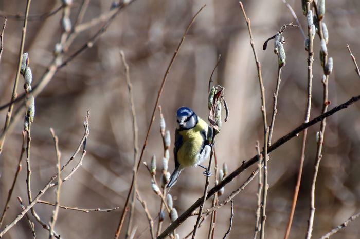 Лазоревка– симпатичная синичка с небесного цвета шапочкой Птицы, Покорми птиц, Фотография, Орнитология