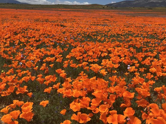Маковое поле в Калифорнии