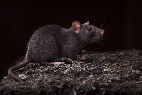 Крысиный король Крыса, Уничтожение, Длиннопост