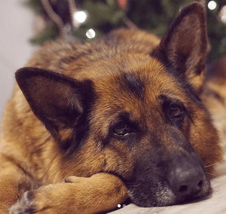 Оказав помощь собаке, пара не подозревала, что спасла тем самым еще пятерых Собака, Немецкая овчарка, Животные, Длиннопост, Помощь
