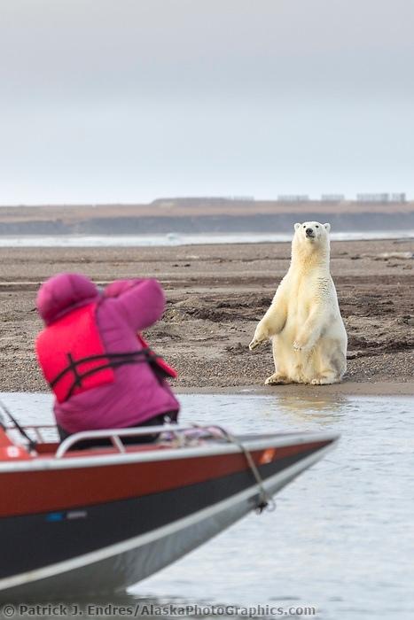 """""""Ой, а вы меня фотографируете?!"""" Белый медведь, Фотография, Дикая природа"""