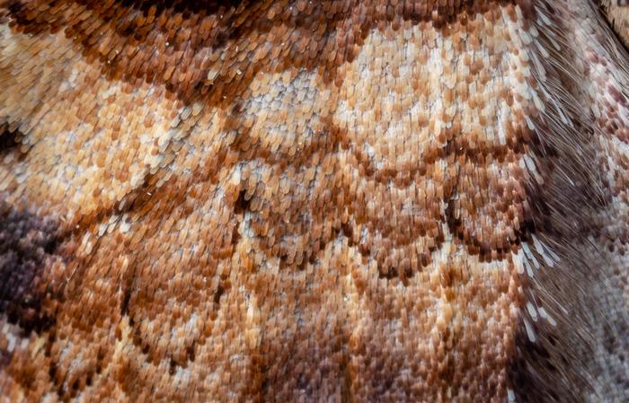 Бабушкин ковёр, плед или занавеска? Макро, Макроохота, Бабочка, Насекомые, Мотылек, Mp-e 65 mm, Длиннопост