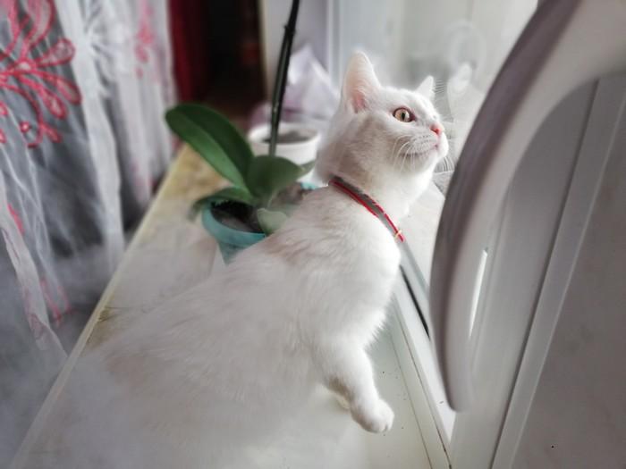 Почему большинство белых кошек - глухие Кот, Белая, Глухота, Мутация, Википедия, Длиннопост