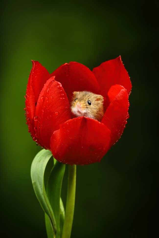 В домике Полевая мышь, Фотография, Милота, Тюльпаны