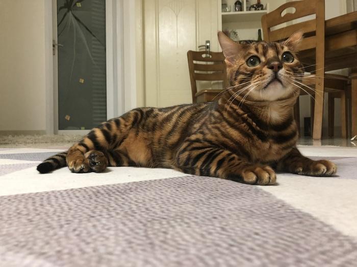Мой любимый Бенгал Бенгальская кошка, Котомафия, Кот