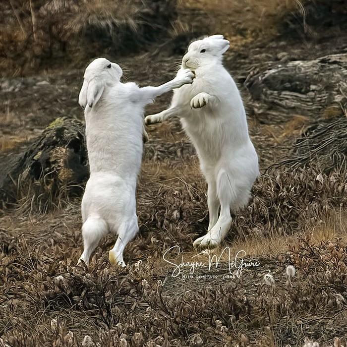 Небольшие разногласия Фотография, Животные, Заяц, Гренландия, Драка, Дикая природа
