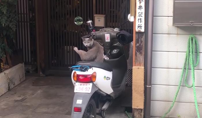 Японский кот качок Дмитрий Шамов, Япония, Токио, Кот, Видео